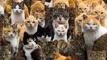 Meong... Pulau isinya Kucing