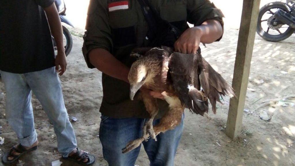 BKSDA Aceh Selamatkan Elang Paria yang Ditabrak Speedboat
