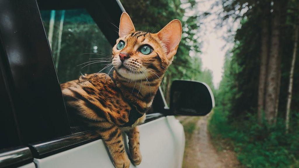 Foto: Suki, Si Kucing yang Suka Traveling