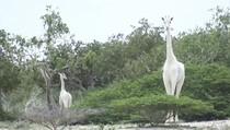 Langka! Jerapah Putih Ditemukan di Kenya