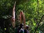Bunga Bangkai Terbesar Dunia Ditemukan di Riau