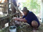 Kambing-kambing di Malang Kembali Ditemukan Mati Misterius