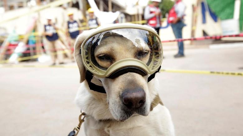 Frida, Anjing yang Jadi Ikon Penyelamat Saat Gempa Meksiko