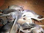 Satwa Asli Mati Akibat Dibangunnya Pagar Pencegah Anjing Liar