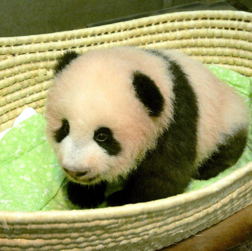 Xiang Xiang, Bayi Panda Lucu yang Mencuri Perhatian di Jepang