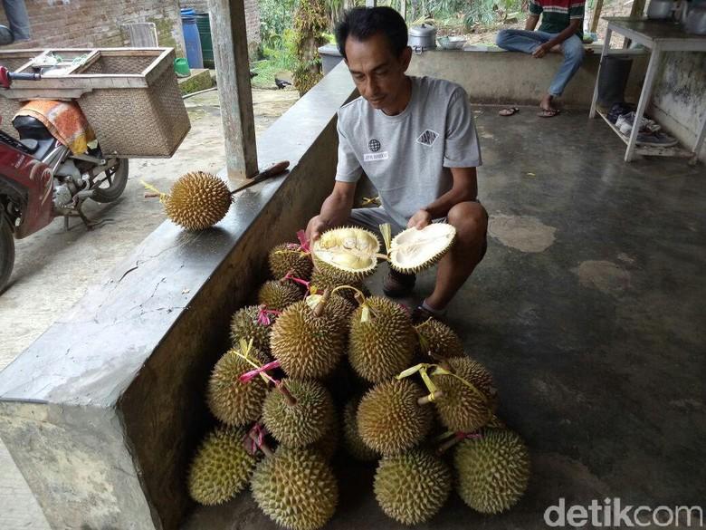 Tak Banyak Panen Durian di - Banyuwangi Musim buah durian di Banyuwangi tak sebanyak Namun petani durian di wilayah Desa Kecamatan Kalipuro masih bisa