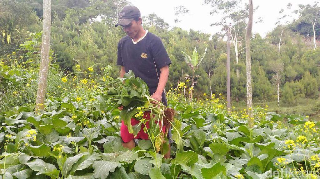 Petani di Banjarnegara Pilih Sayurannya untuk Pakan Kambing