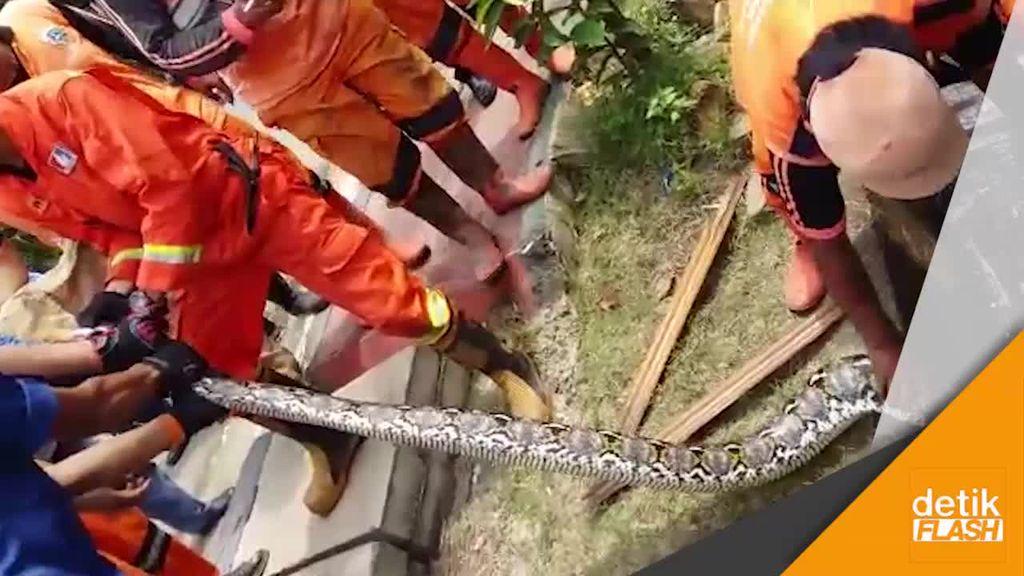 Video Pasukan Oranye Temukan Ular Sanca 4 Meter di Got