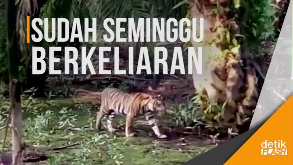 Harimau Sumatera Resahkan Warga Inhil