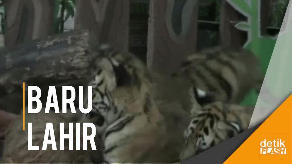 Lucunya Bayi-bayi Harimau Benggala di Taman Safari Prigen Ini