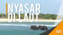 Dramatis! Penyelamatan Gajah Terseret Ombak