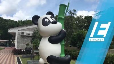 Bikin Gemas! Lucunya Panda-panda di Macau