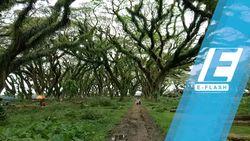 Hutan Mirip Fangorn di Lord of The Rings Ada di Banyuwangi
