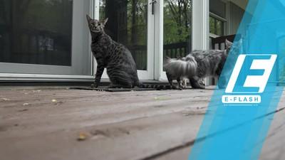 Inilah Cygnus, Kucing dengan Ekor Terpanjang di Dunia!