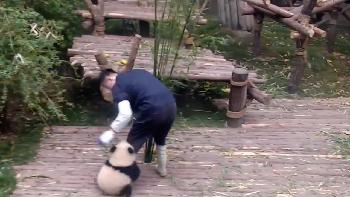 Viral, Video Panda Ganggu Pengasuhnya Kerja