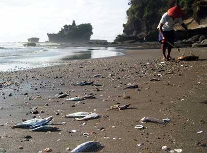 Jutaan Ikan Mati di Pantai Bali