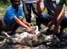 Jumat dini hari, sebanyak 8 ekor domba putih milik warga ditemukan mati secara misterius. Irul Hamdani/detikSurabaya.