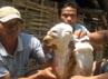 Salah satu domba yang selamat namun penuh luka. Irul Hamdani/detikSurabaya.