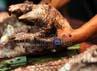 Daging dan kulit trenggiling itu banyak digunakan untuk obat penambah stamina.