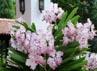 Ini dia bunga yang dinamai sesuai dengan nama Pangeran William dan Kate Middleton. (Willy Anthony Pukarta).