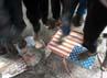 Massa dari Gerakan Mahasiswa (Gema) Pembebasan menginjak-injak bendera AS dan poster bergambar Nakoula Basseley.