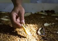 Ulat Hongkong berprotein tinggi makanan Jalak bali