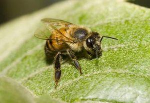 Racun Lebah Bisa Bikin Awet Muda