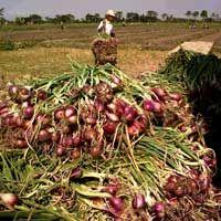 Diserbu Bawang Impor, Petani Ngadu ke DPR