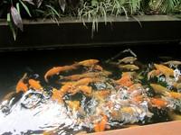 Kolam ikan di samping saung
