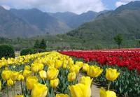 Tulip Garden di Srinagar (tourismguideindia.com)