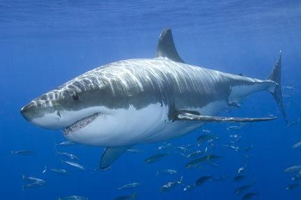 Great white shark (namibian.org)
