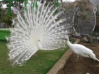 Merak Putih