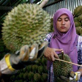 Dukung Buah Lokal, Yuk Berbisnis Kebun Durian