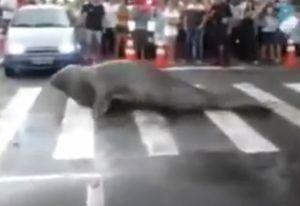 Singa Laut Menyeberang Jalan, Turis di Brazil Kaget!