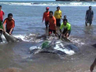 Seekor Ikan Pari Raksasa Tersangkut Jaring Nelayan di Pantai Gunungkidul