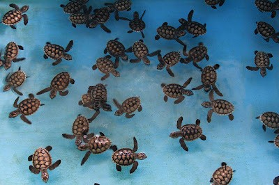 Image result for penangkaran penyu pulau kelapa