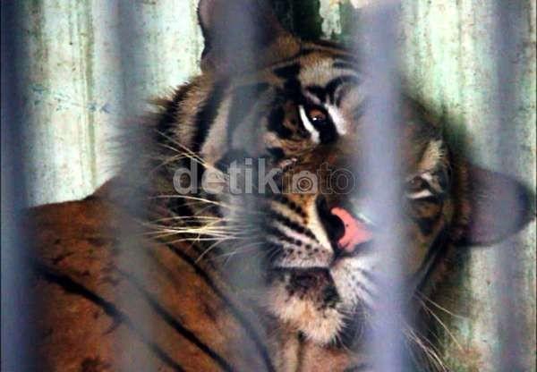 Lagi, Warga Mandailing Natal Tewas Diterkam Harimau