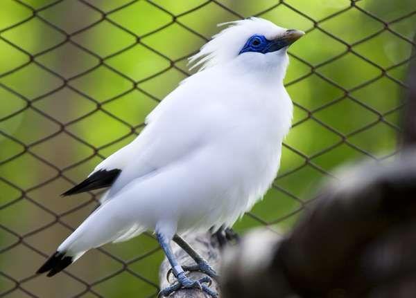 Image result for burung jalak