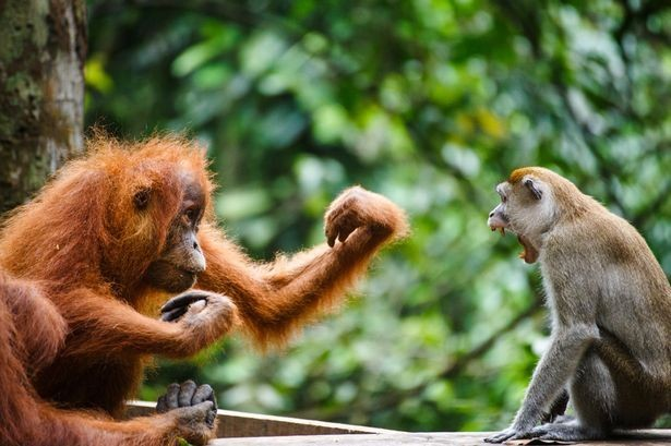 Induk betina orangutan memberikan tinju ke monyet ekor panjang (Ryan Deboodt/Mirror)