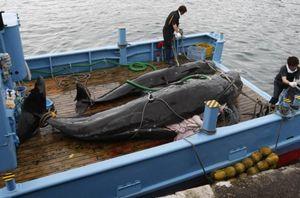 Protes Larangan Penangkapan Ikan Paus, Pejabat Jepang Membuat Whale Buffet