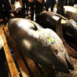 Curi 12 Ton Ikan Tuna Senilai Rp 500 Juta, 2 Kapal Filipina Ditangkap Bea Cukai