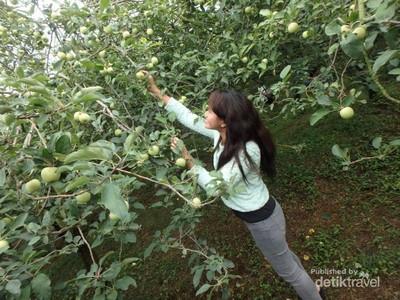 Fresh! Banyuwangi & 6 Destinasi Penghasil Buah