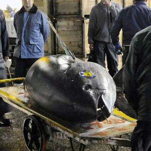 Penangkapan Tuna yang Harganya Capai Rp 3,2 M/Ekor Hanya Dibatasi 750 Ton/Tahun