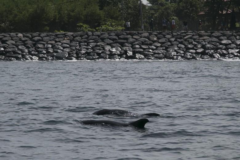 Sempat Dikira Lumba-lumba, Mamalia yang Terdampar di Bali Ternyata Paus