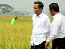 Jokowi Blusukan Lihat Proses Olah Sawah dengan Mikrobia