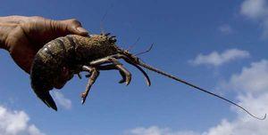 Menteri Susi Sebut Ada Upaya Penyelundupan 320.000 Bibit Lobster