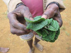 Daun Gatal, Obat Ajaib di Pedalaman Papua