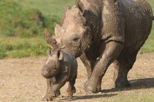 Bayi Badak Pertama Lahir di Kebun Binatang Howletts, Inggris
