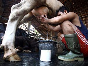 Produksi Stagnan, Impor Susu Masih Tinggi