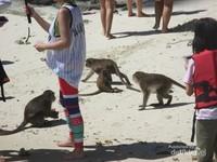 Monkey Beach, monyet berbaur dengan para pengunjung
